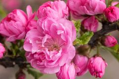 Sakura, cherry blossom. Oriental cherry blooming. Spring blossoming. Close up. stock photos
