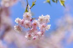 Sakura Royalty Free Stock Photography