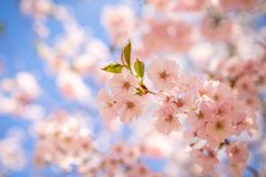 Sakura cherry blossom in spring time over blue sky. Beautiful full bloom cherry Blossom in the early spring season stock image
