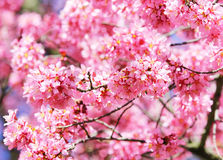 Sakura. Cherry Blossom in Springtime Stock Photos