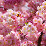 Sakura. Cherry Blossom in Springtime Royalty Free Stock Image