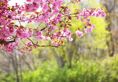 Sakura. Cherry Blossom in Springtime Stock Photography