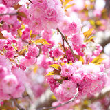 Sakura. Cherry Blossom in Springtime Stock Photo