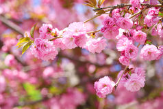 Sakura. Cherry Blossom in Springtime, Beautiful Pink Flowers Royalty Free Stock Photos