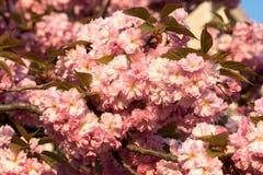Sakura. cherry blossom in springtime Stock Photo