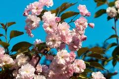 Sakura. cherry blossom in springtime Royalty Free Stock Photo
