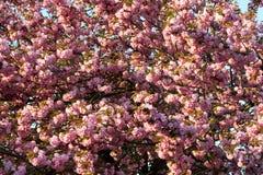 Sakura. cherry blossom in springtime Stock Images