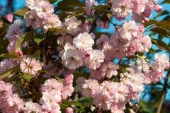Sakura. cherry blossom in springtime Stock Image