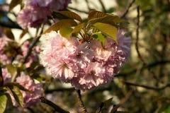Sakura. cherry blossom in springtime Royalty Free Stock Photos