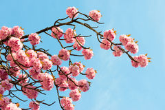 Sakura. cherry blossom in springtime Stock Photos