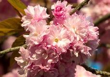 Sakura. cherry blossom in springtime Stock Photography