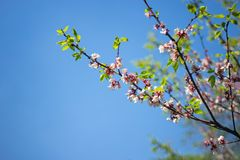 Sakura. cherry blossom in springtime, beautiful pink flowers against the blue sky royalty free stock photo