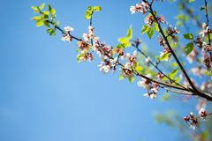 Sakura. cherry blossom in springtime, beautiful pink flowers against the blue sky. Tree branch strewn with double pink flowers on a Sunny spring day, macro stock images