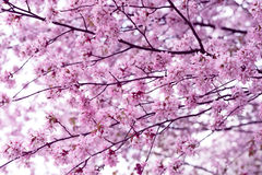 Sakura. Cherry Blossom in Springtime. Beautiful Pink Flowers Stock Photo