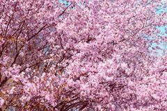 Sakura. Cherry Blossom in Springtime. Beautiful Pink Flowers Royalty Free Stock Photo