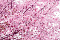 Sakura. Cherry Blossom in Springtime. Beautiful Pink Flowers Royalty Free Stock Images