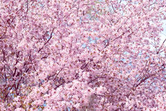 Sakura. Cherry Blossom in Springtime. Beautiful Pink Flowers Royalty Free Stock Photo