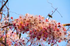 Sakura. cherry blossom in springtime, beautiful pink flowers. Pink flower in blue background Royalty Free Stock Photo