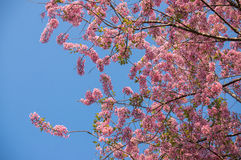 Sakura . Cherry Blossom In Springtime royalty free stock photos