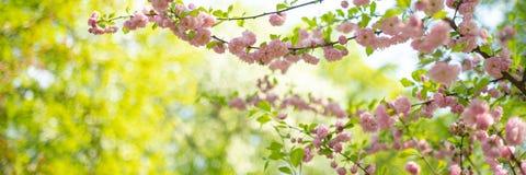 Sakura. cherry blossom in springtime, beautiful pink flowers royalty free stock photos
