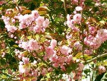 Sakura. cherry blossom in springtime, beautiful pink flowers Uzhhorod of Transcarpathia. Sakura. cherry blossom in springtime, beautiful pink flowers Stock Photography