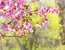 Sakura. Cherry Blossom in Springtime, Pink Flowers Royalty Free Stock Photos