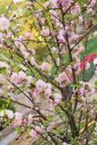 Sakura. Cherry Blossom in Springtime, Pink Flowers Stock Photo