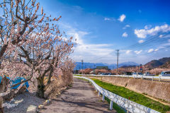 Sakura,Cherry blossom in springtime tree on blue sky. Sakura,Cherry blossom in springtime tree on blue sky , Nagano,Japan Royalty Free Stock Photo