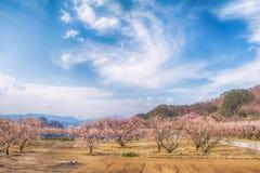 Sakura,Cherry blossom in springtime tree on blue sky. Sakura,Cherry blossom in springtime tree on blue sky , Nagano,Japan Stock Photography