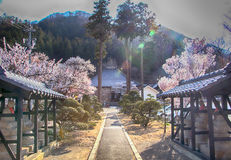 Sakura,Cherry blossom in springtime of Village of Apricot. Royalty Free Stock Photography