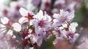 Sakura. Cherry Blossom in Taiwan. Beautiful Pink Flowers Stock Image