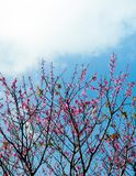 Sakura, Cherry blossom, Taiwan cherry in Ishigaki, Okinawa. Sakura, Cherry blossom, Taiwan cherry agaisnt blue spring season sky on Ishigaki isalnd, Okinawa Stock Photography