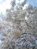 Sakura. Cherry blossom in Tokyo, Japan Royalty Free Stock Photos