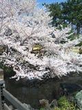 Sakura. Cherry blossom in Tokyo, Japan Stock Images