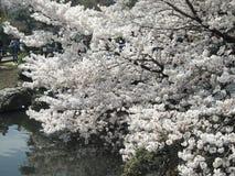 Sakura. Cherry blossom in Tokyo, Japan Stock Photos