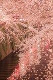 Sakura cherry blossom Stock Images