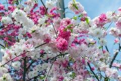 Sakura cherry blossom tree in Gongendo park Japan.  royalty free stock photography