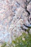 Sakura cherry blossom tree in Gongendo park Japan.  stock images