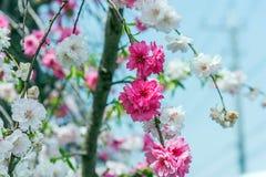 Sakura cherry blossom tree in Gongendo park Japan.  stock photos