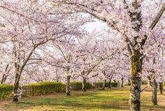 Sakura cherry blossom tree. At green park royalty free stock images