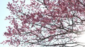 Sakura cherry blossom on tree with rays of sunlight shining through the branches stock video