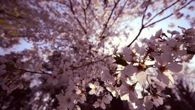 Sakura, Cherry blossom in Ueno Park at Tokyo, Japan. Sakura, Cherry blossom in Ueno Park. The season of traveling in Japan stock video footage
