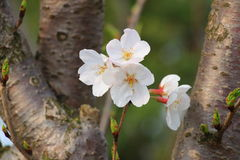 Sakura. The cherry,blossomDeciduous trees.10 meters to 25 meters high.Bark brown, lobes ovate, margin serrate.Produced in China and Japan, there are a lot of Royalty Free Stock Images