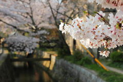 Sakura cherry blossoms Stock Image