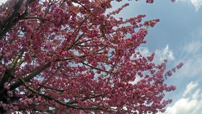 Sakura cherry blossoms against the blue sky. As background stock footage