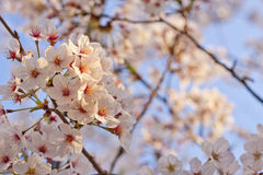 Sakura - Cherry Blossoms Stock Images