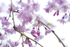 Sakura - Cherry Blossoms Royalty Free Stock Photo