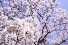 Sakura Cherry Blossoms bonita no Tóquio, Japão fotografia de stock royalty free
