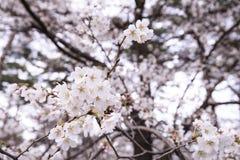 Sakura Cherry Blossoms bonita no Tóquio, Japão fotos de stock