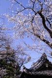 Sakura Cherry Blossoms bonita no Tóquio, Japão imagem de stock royalty free